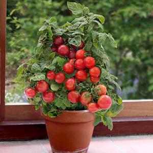 tomate-cherry-huero-urbano